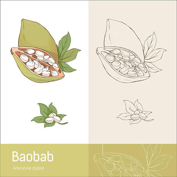 Baobab frutas - ilustración de arte vectorial