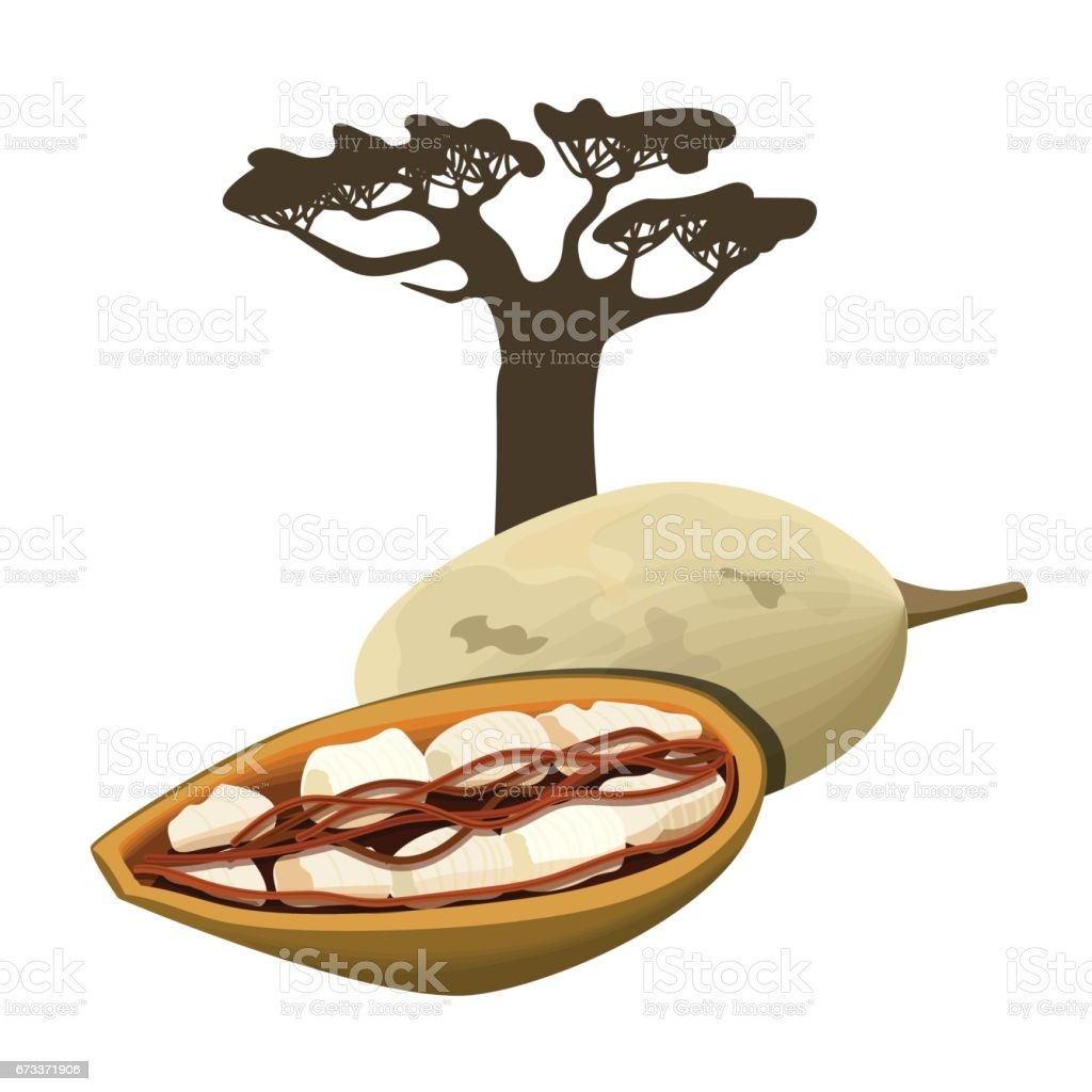 Baobab tree and fruit pod Isolated object. Adansonia. Superfood baobab fruit. Vector illustration. vector art illustration