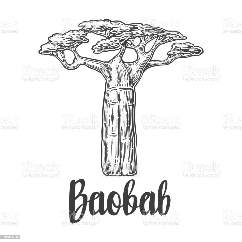 Baobab tree. Vector vintage engraved illustration on white background. vector art illustration