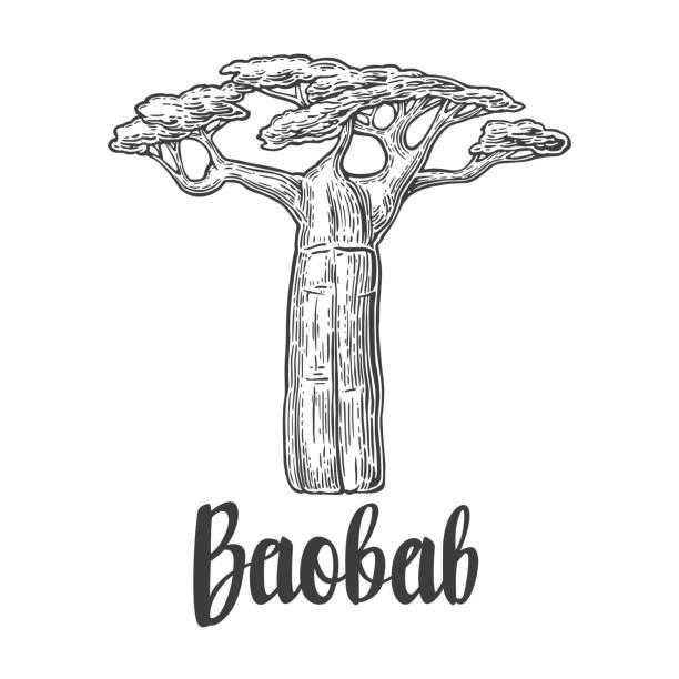 Árbol de Baobab. Vector vintage grabado ilustración fondo blanco. - ilustración de arte vectorial