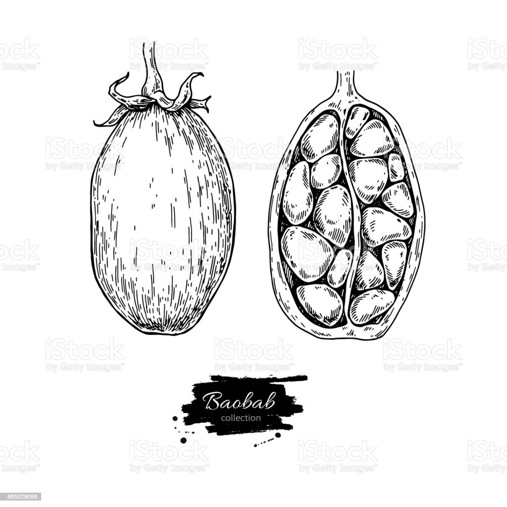 Baobab vector superfood drawing. Isolated hand drawn  illustrati vector art illustration