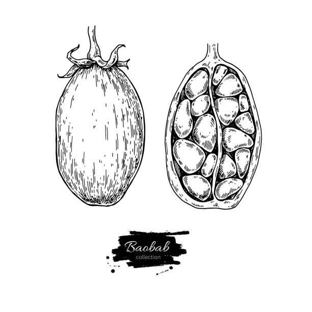 Súper alimento vector Baobab dibujo. Aislado mano dibujado illustrati - ilustración de arte vectorial