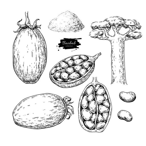 Conjunto de dibujo de Baobab vector superfood. Aislado mano dibujado ilust - ilustración de arte vectorial