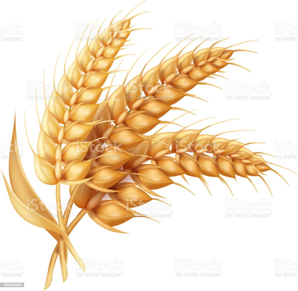 Barley ear with leaves realistic isolated. Wheat vector icon vector art illustration
