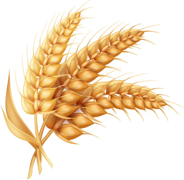 ilustrações de stock, clip art, desenhos animados e ícones de barley ear with leaves realistic isolated. wheat vector icon - oats