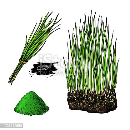 Barley grass and powder vector superfood drawing. Isolated hand drawn illustration on white background. Organic healthy food. Great for banner, poster, label