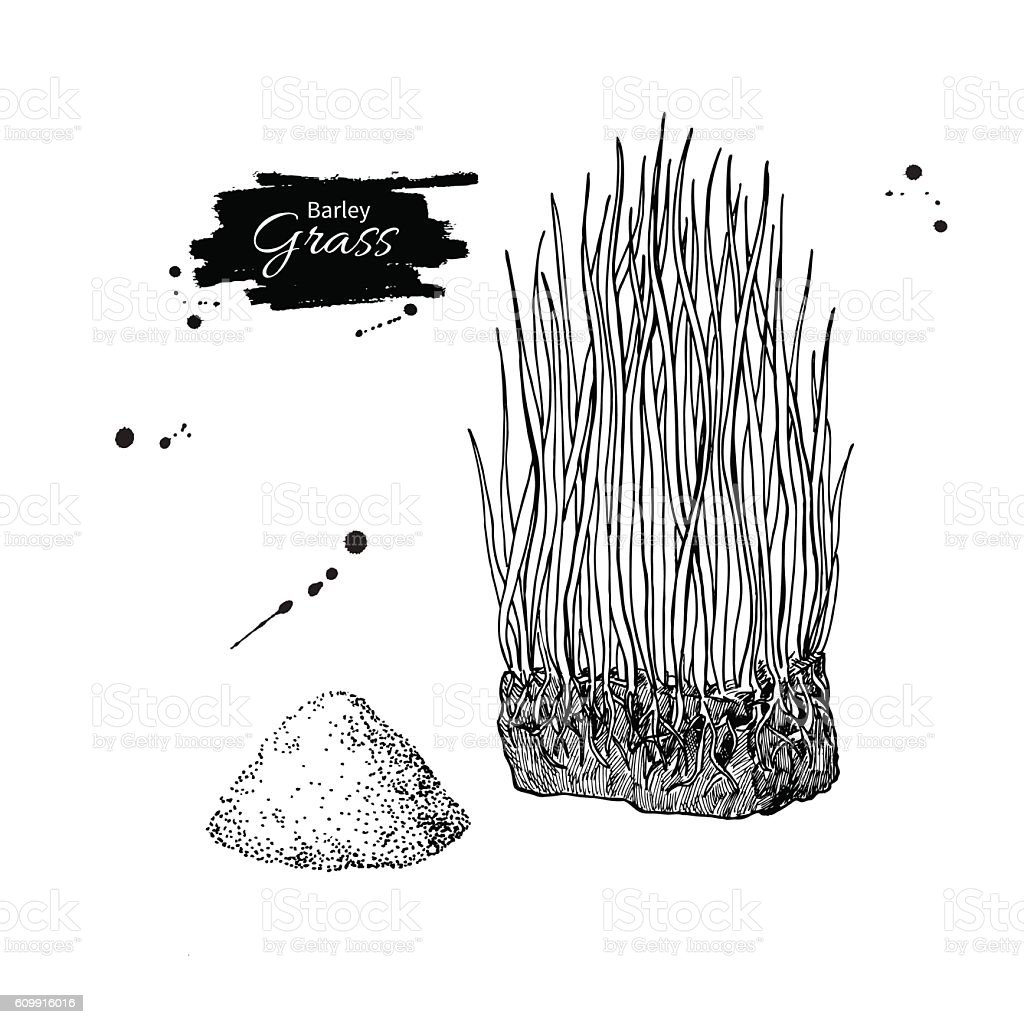 Barley grass and powder vector superfood drawing. Isolated hand vector art illustration