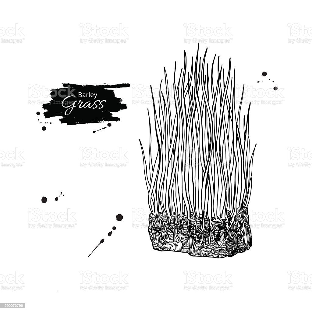 Barley grass vector superfood drawing. Isolated hand drawn  illu vector art illustration