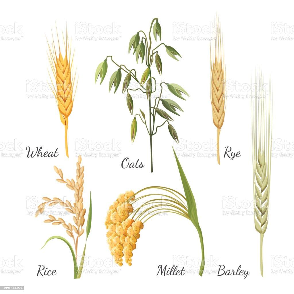 Barley, wheat, rye, rice, millet and green oat. Vector illustration vector art illustration