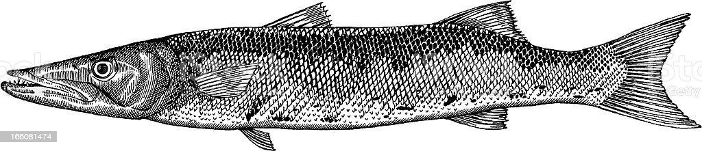Barracuda Fish Drawing vector art illustration