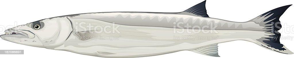 Barracuda - Sphyraena genus vector art illustration