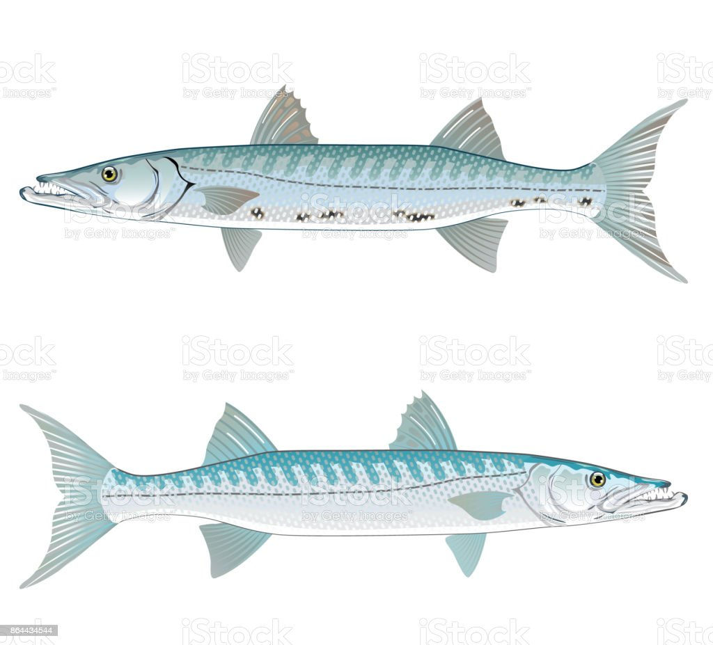Barracuda vector art illustration realistic vector art illustration