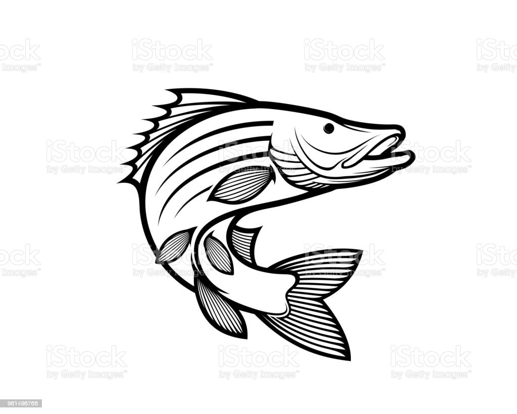 Barramundi vector art illustration