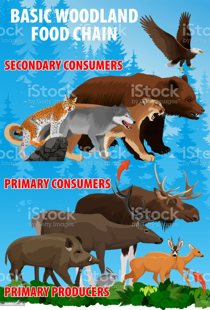 Basic green forest woodland food trophic chain. Forest ecosystem energy flow. Vector illustration.