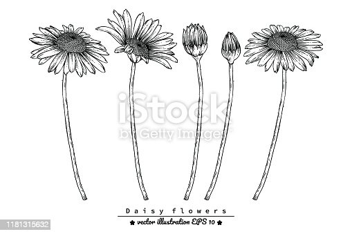 Sketch Floral Botany Collection. Daisy flower drawings. Black and white with line art on white backgrounds. Hand Drawn Botanical Illustrations.