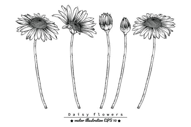 Basic RGB Sketch Floral Botany Collection. Daisy flower drawings. Black and white with line art on white backgrounds. Hand Drawn Botanical Illustrations. trillium stock illustrations