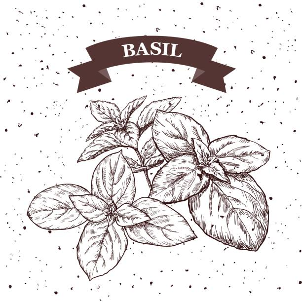 Basil. Herb and spice label. Engraving illustrations for tags. Vector sketches of vegan food. vector art illustration