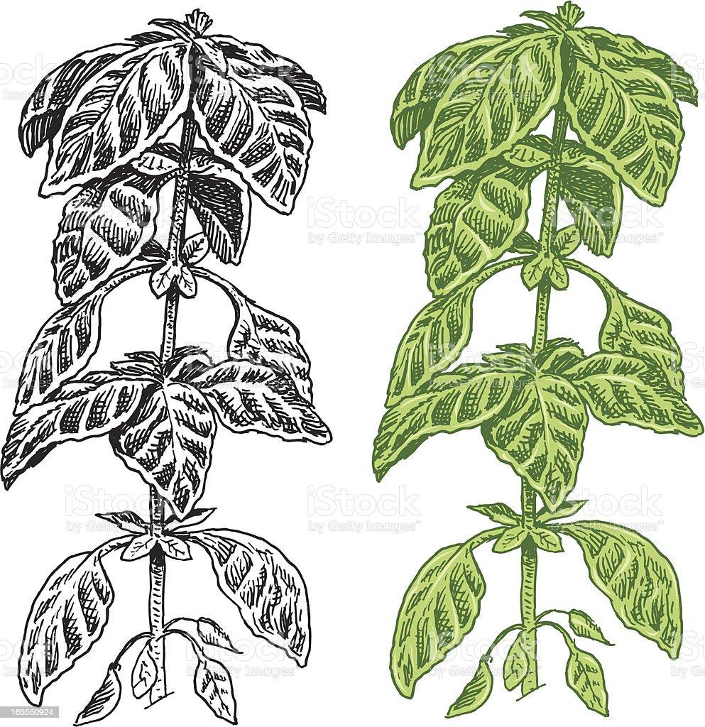 Basil Herb - Spice royalty-free stock vector art