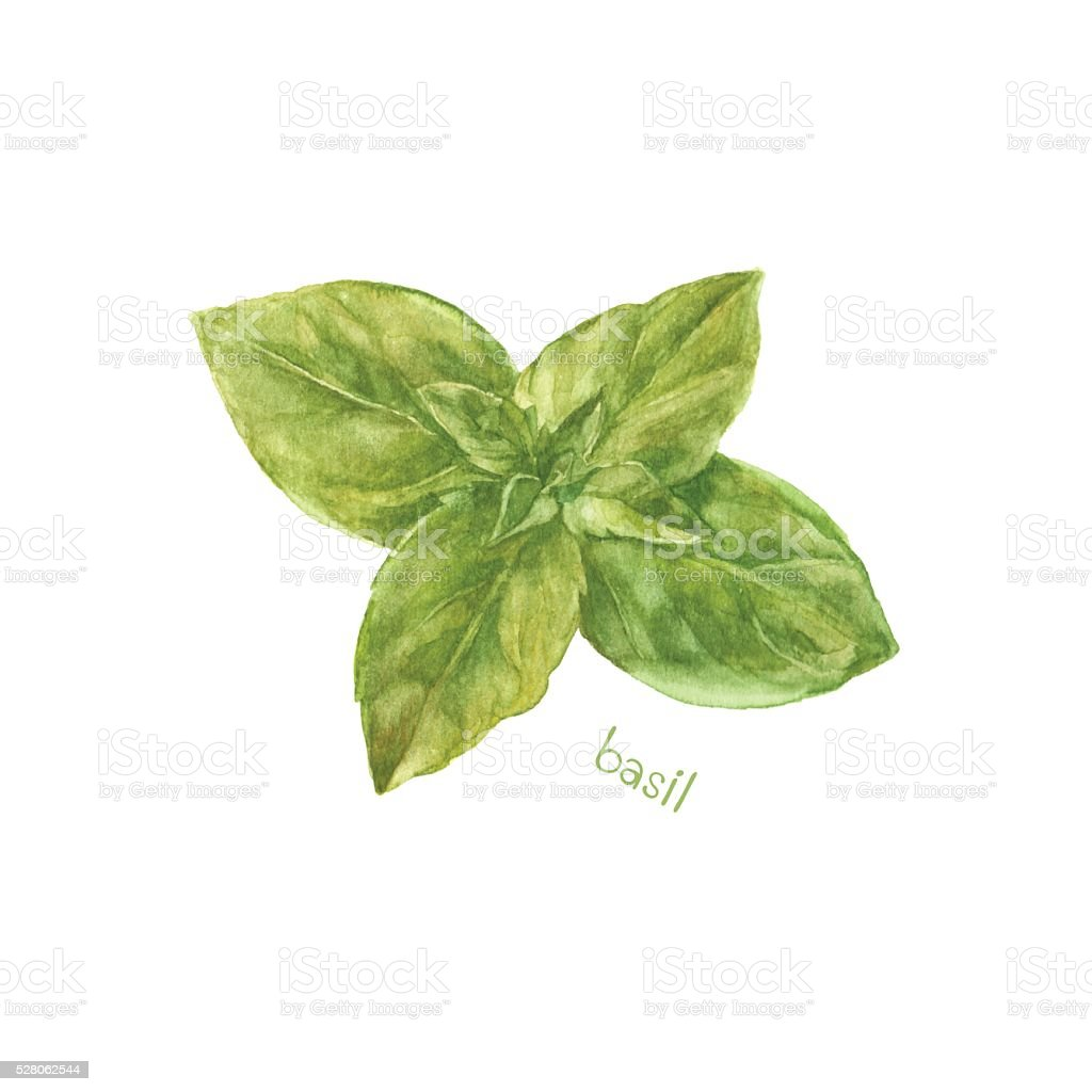 Basil isolated on white background. Vector, watercolor hand drawn  illustration. vector art illustration