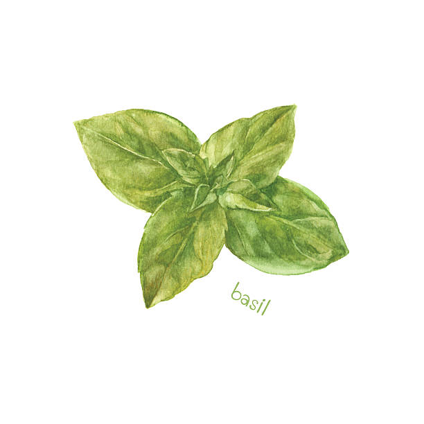 Basil isolated on white background. Vector, watercolor hand drawn  illustration. Watercolor illustration of basil, design element. basil stock illustrations