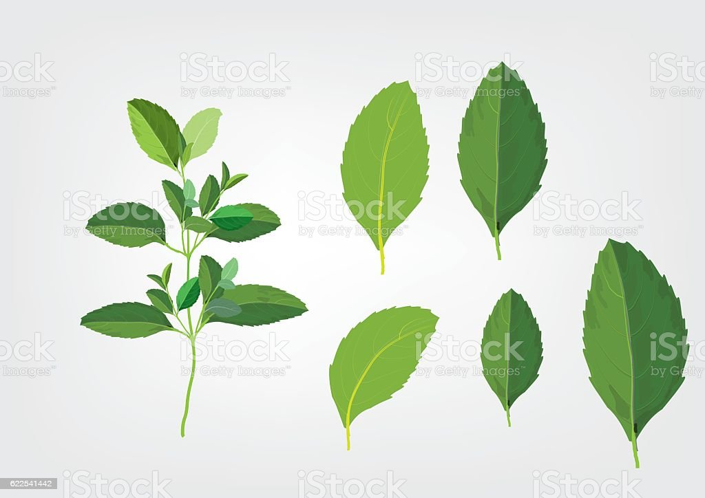 Basil leaves on the branch. herbs for cooking vector art illustration