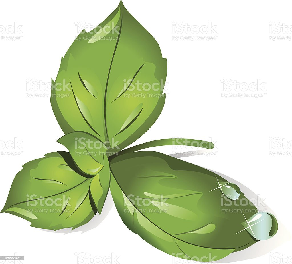 Basil leaves vector art illustration