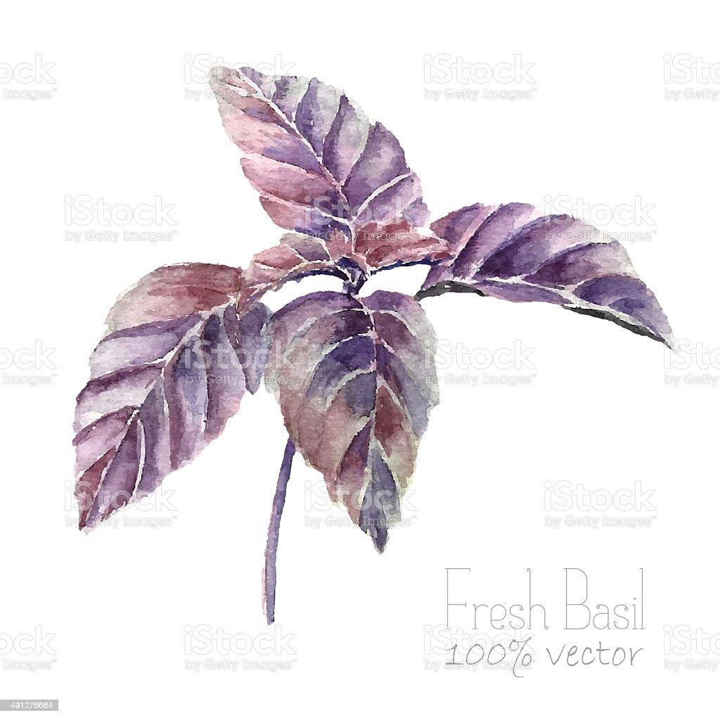 Basil leaves watercolor. vector art illustration