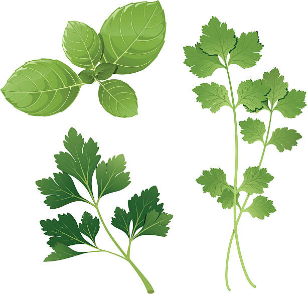 basil, parsley, cilantro Group of three herbs basil stock illustrations