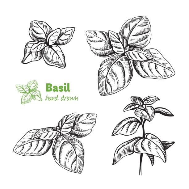 Basil plant and leaves vector hand drawn illustration Detailed hand drawn vector illustration of basil plant. basil stock illustrations