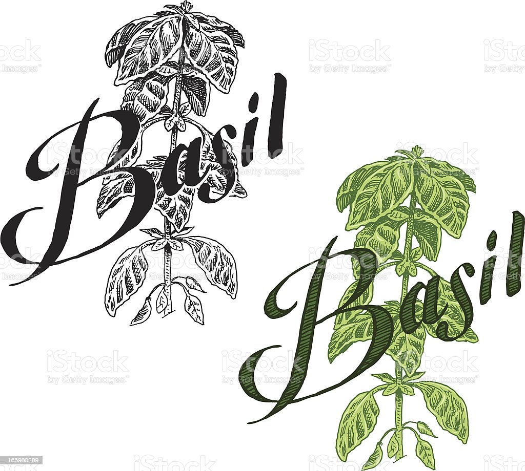 Basil Plant - Herb with Text royalty-free stock vector art