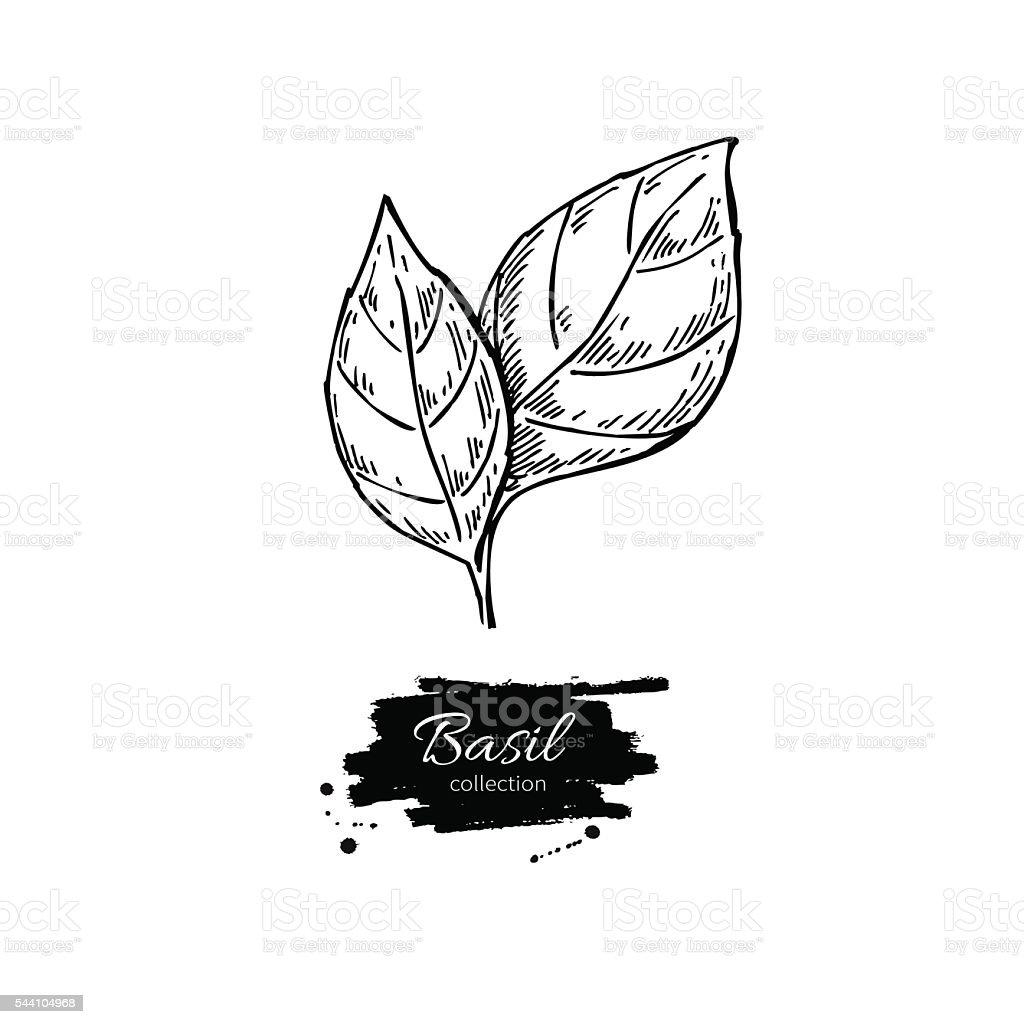 Basil vector drawing. Isolated Basil leaves. Herbal engraved sty vector art illustration