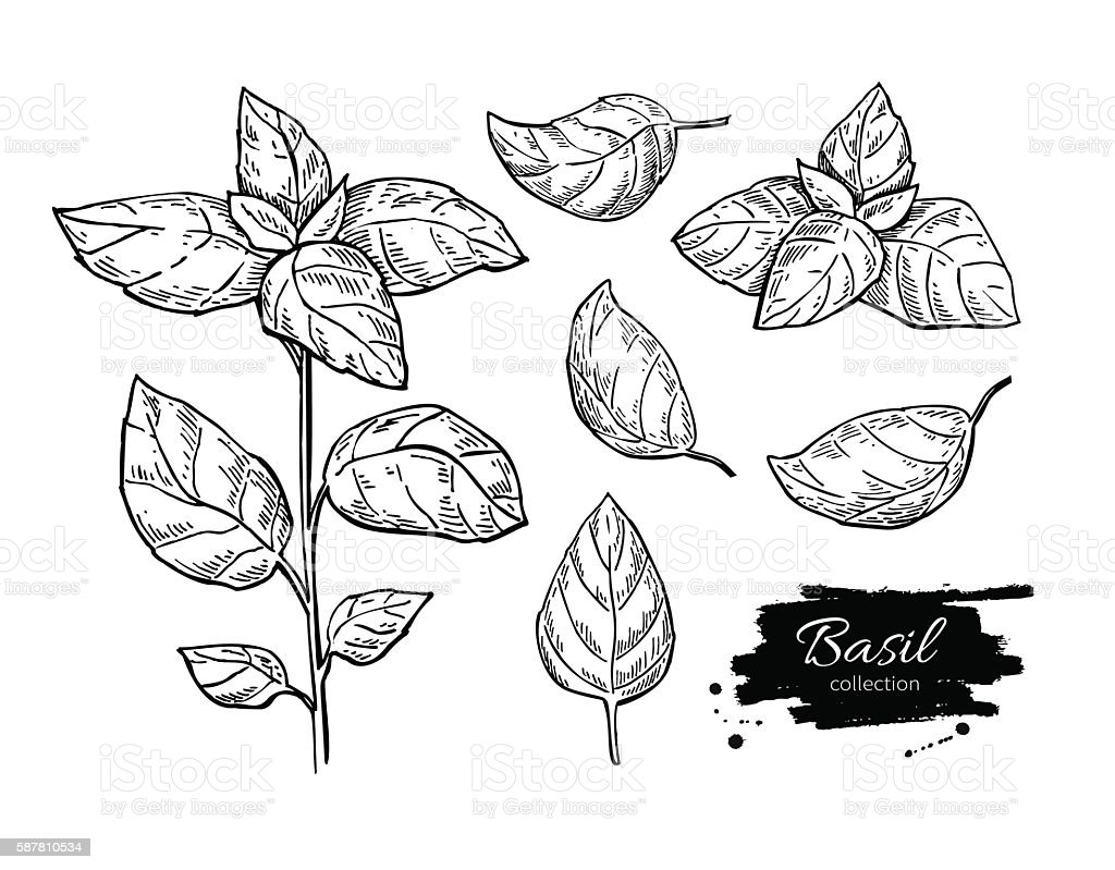 Basil vector drawing set. Isolated plant with leaves. vector art illustration