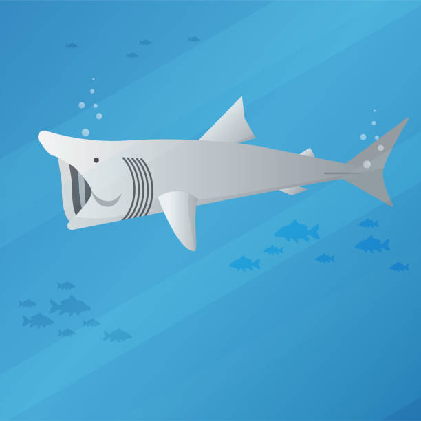 basking shark vector art illustration