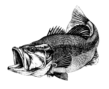 Bass, Micropterus salmoides. Fish collection. Healthy lifestyle, delicious food, ichthyology scientific drawings