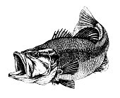 istock Bass, Micropterus salmoides. Fish collection. Healthy lifestyle, delicious food, ichthyology scientific drawings 1290966780
