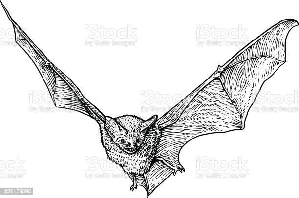 Bat illustration drawing engraving ink line art vector vector id836176090?b=1&k=6&m=836176090&s=612x612&h=xstgj5ztx0r7wd58amxl6gmi6vmiebp2buzll83kuws=