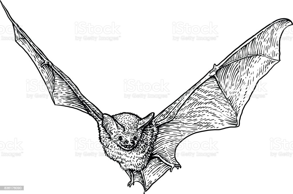 Bat illustration, drawing, engraving, ink, line art, vector vector art illustration
