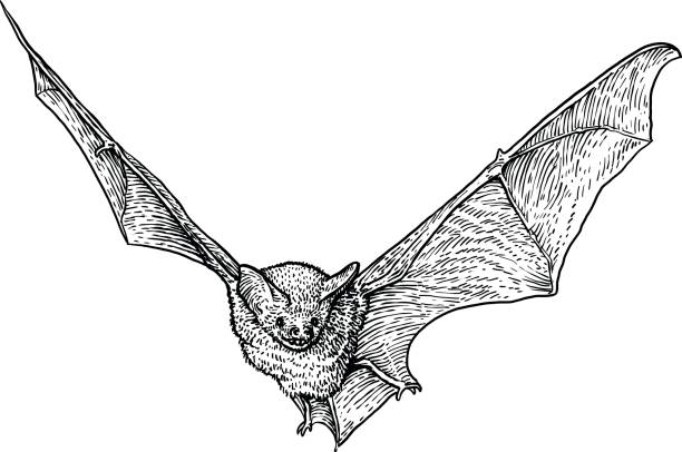 bat illustration, drawing, engraving, ink, line art, vector - bat stock illustrations, clip art, cartoons, & icons