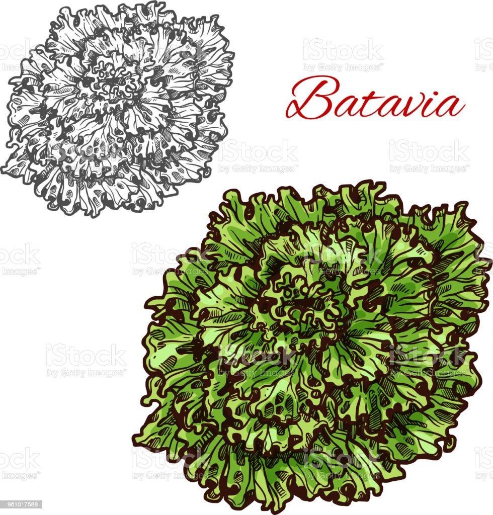 Batavia Salat Grün Salatblatt Skizzieren Stock Vektor Art Und Mehr