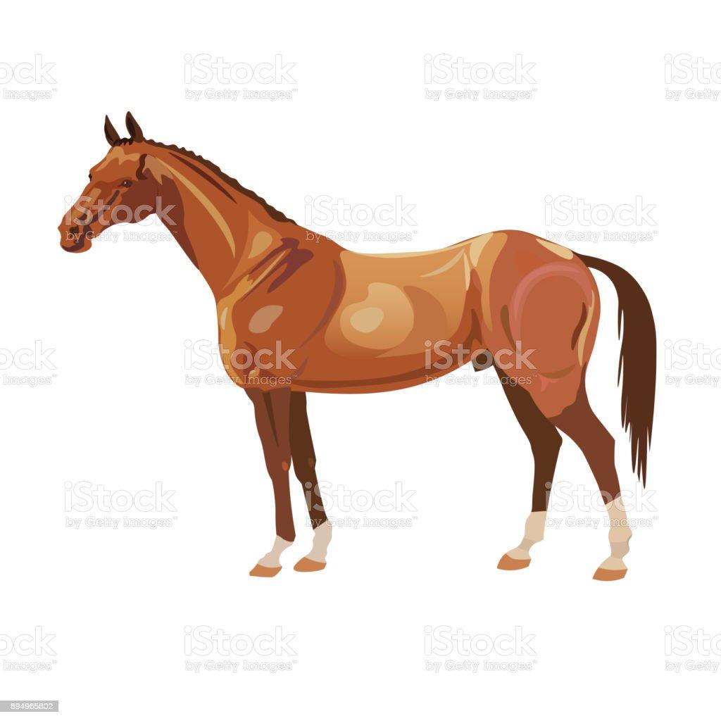Bay arabian mustang stallion vector art illustration