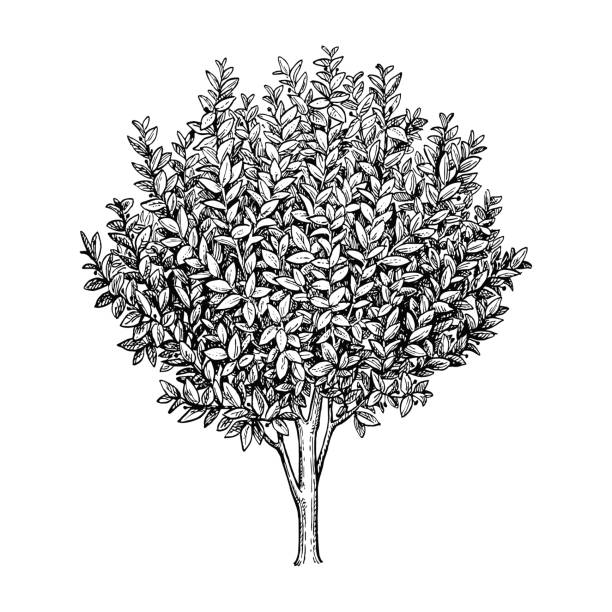 Bay laurel tree. Bay laurel branch. Ink sketch isolated on white background. Hand drawn vector illustration. Retro style. engraved image stock illustrations