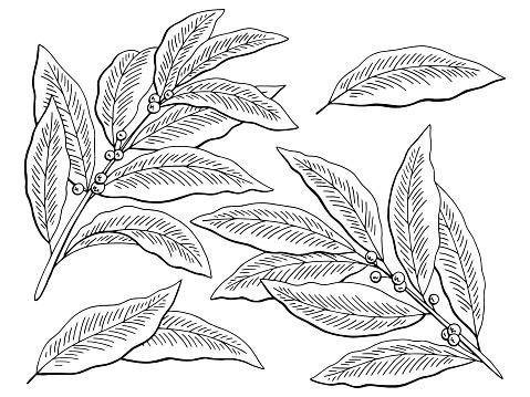Laurier Grafisch Zwart Witte Geïsoleerde Schets Instellen Illustratie Vector Stockvectorkunst en meer beelden van Blad