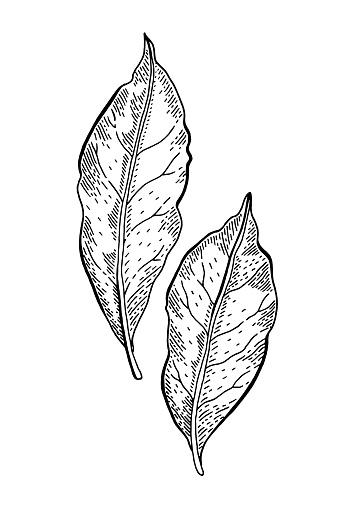 Bay leaf sketch. Laurel tree illustration. Hand drawn vector plant. Vintage herb drawing. Food icon. Engraving leaves. Cooking black line etching art. Retro aromatic bay leaf sketch