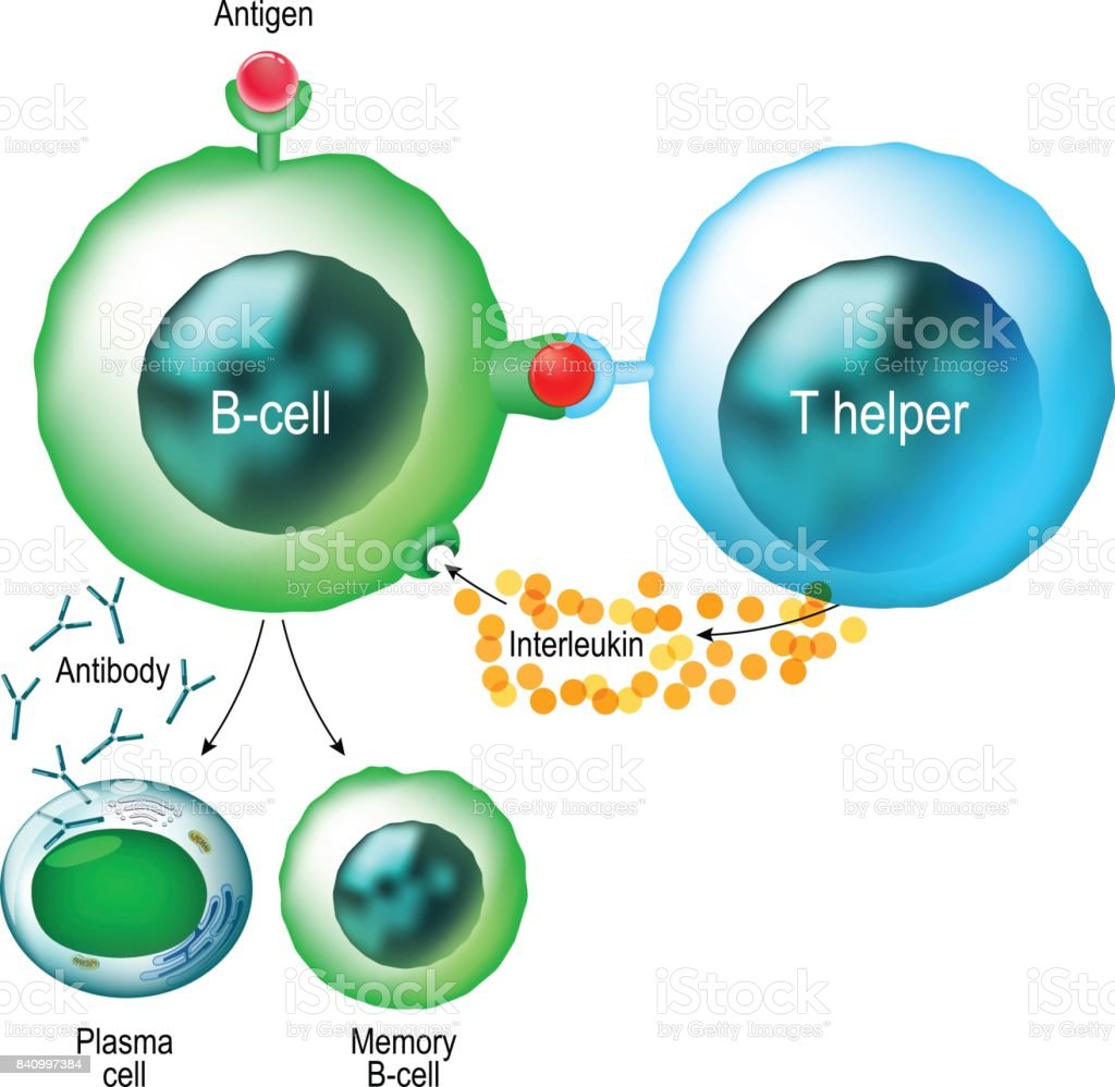 B-cell and T helper cells vector art illustration