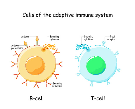 B-cell and T-cell. Adaptive immune system
