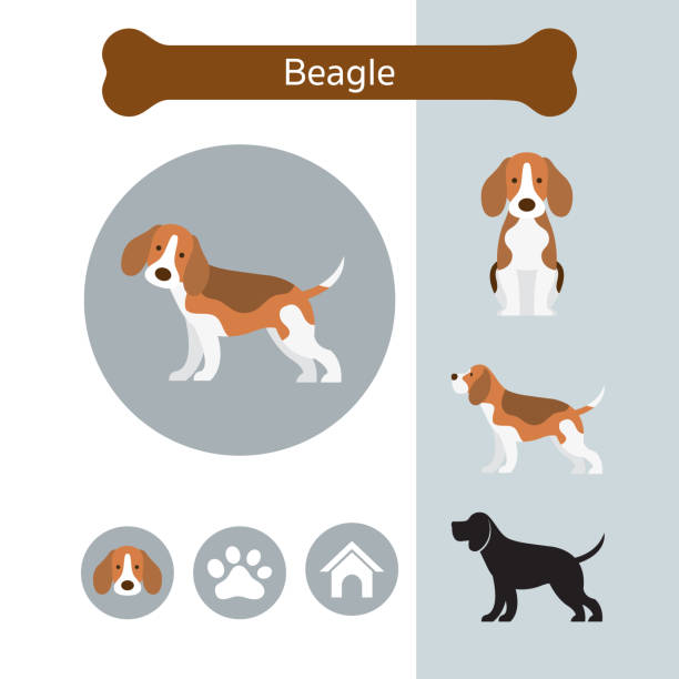 Beagle Dog Breed Infographic Illustration, Front and Side View, Icon beagle stock illustrations