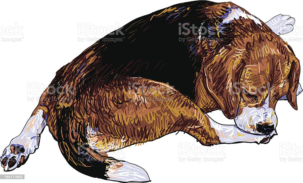 Beagle is biting softly on it's leg. royalty-free beagle is biting softly on its leg stock vector art & more images of animal