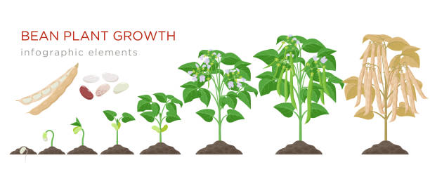 44,478 Green Bean Plant Stock Photos, Pictures & Royalty-Free Images - iStock