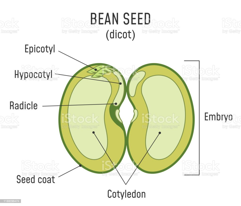 Bean Seed Structure Dicot Stock Illustration
