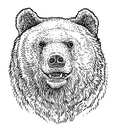 Bear head illustration, drawing, engraving, ink, line art, vector